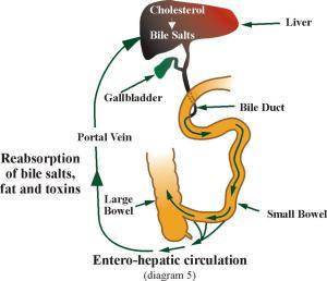 Entero hepatic circulation