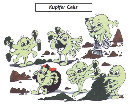 kupffer-cells