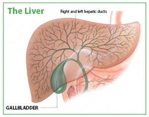 the liver gallbladder big