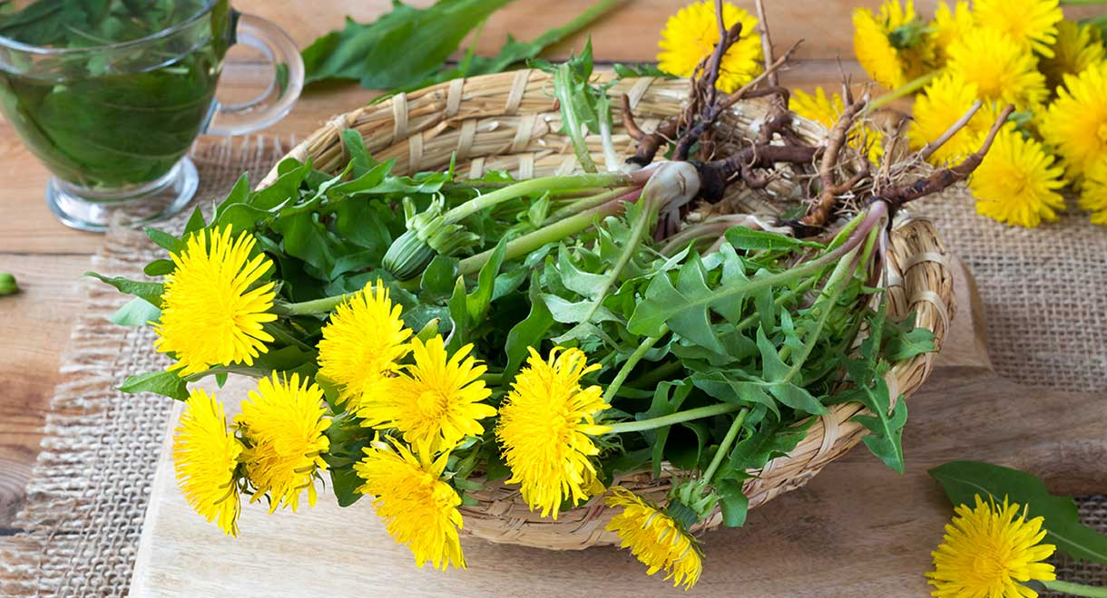 How Dandelion Benefits Your Liver | Liver Doctor